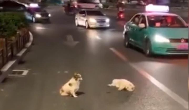 貴州省凱里市日前有隻小白狗被車撞倒,另一隻小狗不顧車來車往,在旁守護多時。(截圖自影片)