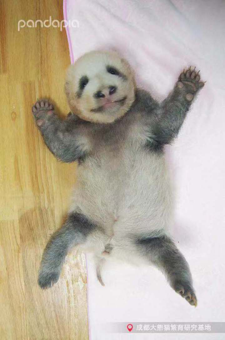 成都大熊貓繁育研究基地今年新誕生的大貓熊寶寶「績笑」,其灰色的毛髮自帶喜感,許多遊客看到都忍不住高呼可愛。(取自《四川觀察》)