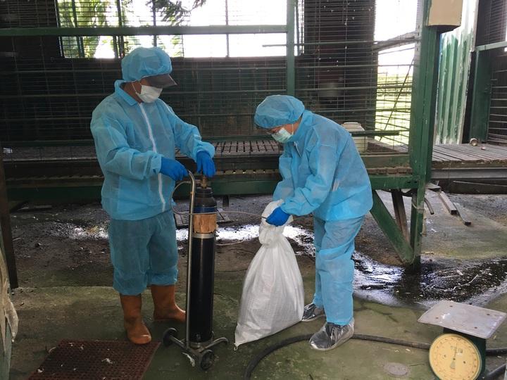 彰化縣首見民眾在住家庭院自養的鵝感染H5N2亞型高病原性禽流感,防疫人員到民眾住處撲殺活存的家禽。照片/動防所提供