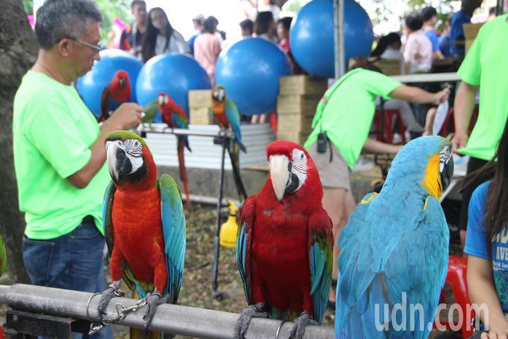 「戀戀欒樹節」現場有多隻金剛鸚鵡,吸引民眾目光。記者林敬家/攝影