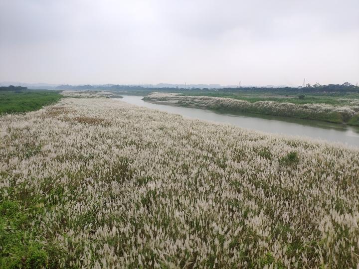 曾文溪畔大內橋畔美麗的甜根子花海。記者謝進盛/攝影